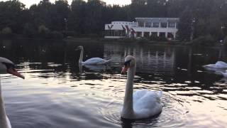 Il lago die cigni ресторан в Санкт-Петербурге(, 2015-08-10T19:45:43.000Z)