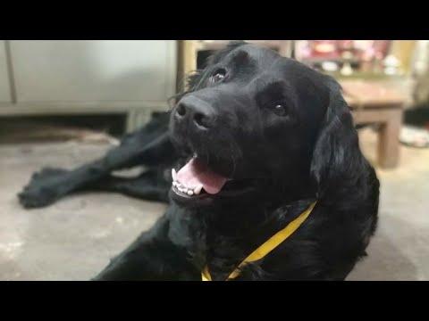 Black Labrador Retriever Breed Labrador Dog In India Black Colour Labra Dog Video 16 Youtube