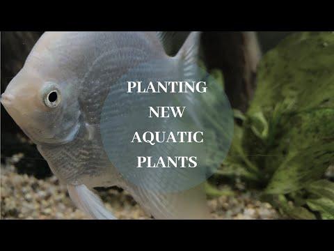 Planting New Aquatic Plants (Green Ozelot & Red Flame Sword)