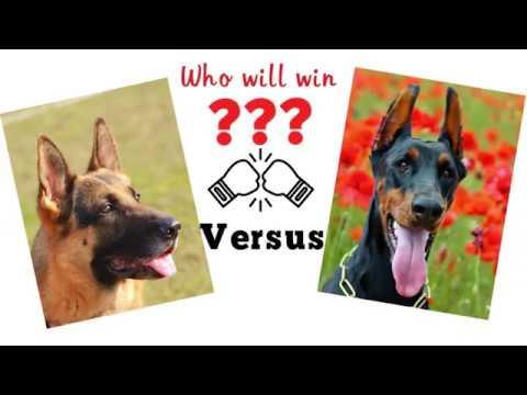 German shepherd vs Doberman. Dog comparison based on 33 criteria