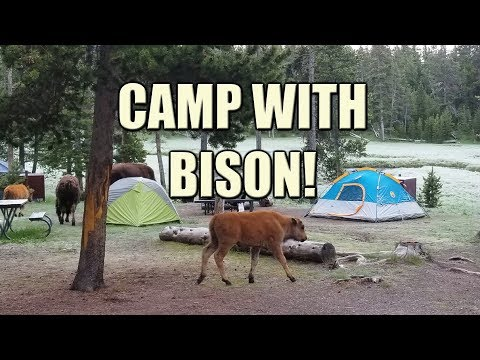 Camp With Bison | Yellowstone National Park
