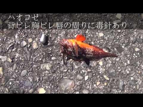 (毒魚)釣っても触ったらダメ! 刺毒魚シリーズ in 和歌山県 釣太郎