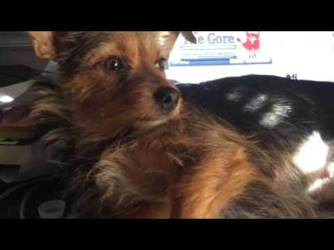 My Cowriter Shorty The Yorkie Russell Youtube