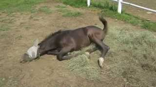 Indy practicing to be a gray horse