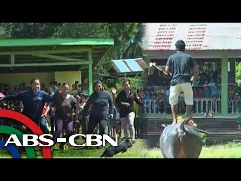 WATCH: Karera ng mga kalabaw sa Palawan