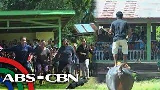 Karera ng mga kalabaw sa Palawan