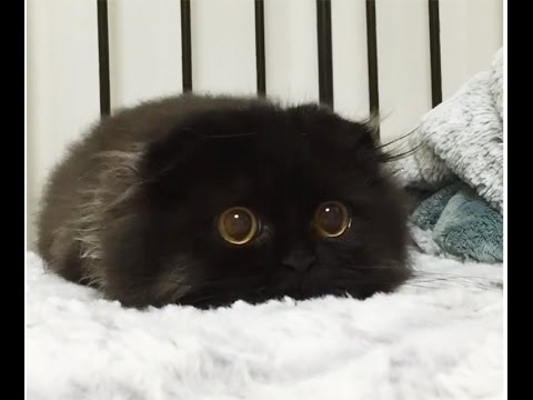 Gimo The Cat The Biggest Eyes Cat Ever Youtube