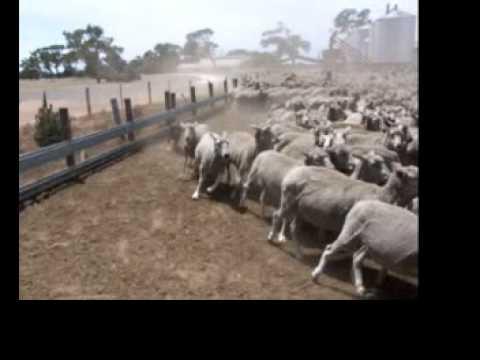 Australian Kelpie Herding Sheep www.burradooranch.com