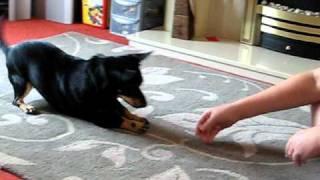 Dog Tricks (lancashire Heeler)