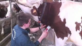 Tondre une vache - LEGTA La Côte Saint André