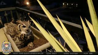 okc owl cam mr t brings rat for altera s breakfast new egg laid 2 1 17