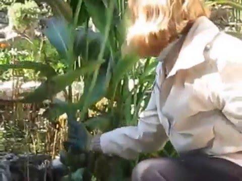 Для садовых калл характерно долговременное цветение. Благодаря разнообразию селекционных сортов есть возможность подобрать вид растения,