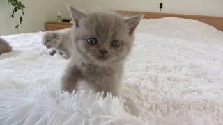 Прикольные вислоухие шотландские котята весело играют