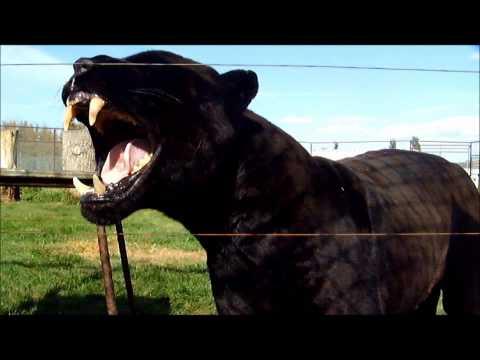 Magnum Black Jaguar Growl