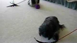 17 Year Old Senior Shih Tzu Still Playing With His Toys