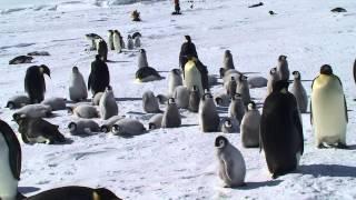 Gambar cover i meravigliosi pinguini imperatore