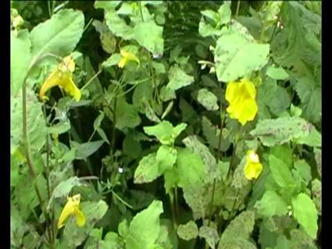 Спасет от недугов Золотая розга (золотарник): лечебные