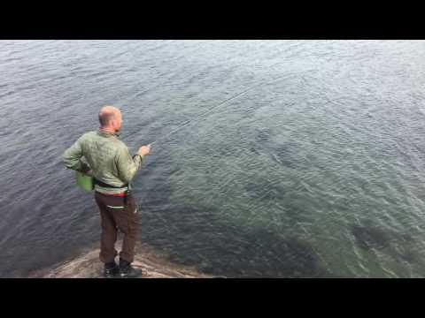 Norwegian Sea bass in Southern Norway - havabbor på Sørlandet