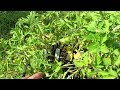 How to Save Stressed Tomato Transplants/Plants: Don't Panic, Make a Plan, Soluble Fertilizer