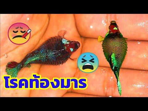 EP.41 โรคท้องมารปลากัด l อัพเดทลูกปลากัดนีโม่อายุ15วัน