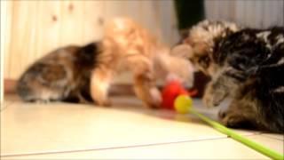 Котенок курильского бобтейла Савелий 2 мес.