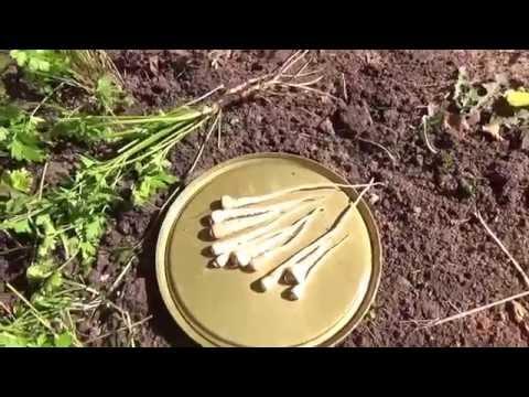 Как сохранить корневую петрушку на зиму