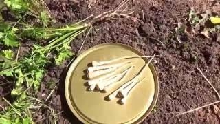 Не забываем заготовить на зиму корневую петрушку!