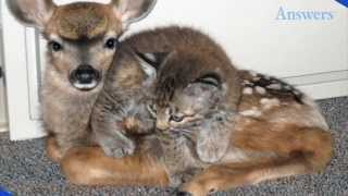 After a Forest Fire, This Fawn and Baby Bobcat Were Found Huddled Together In an Office Building