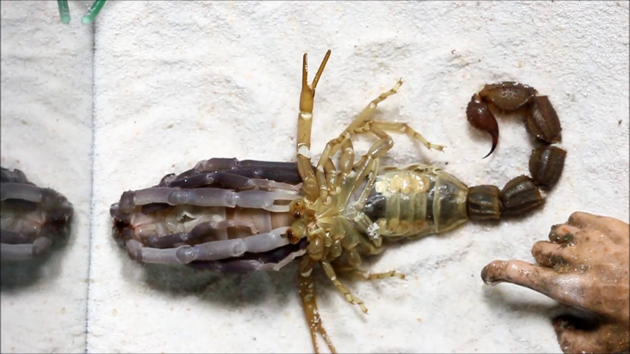 Download scorpion molting (แมงป่องลอกคราบ )