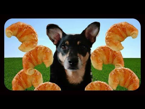 Australian Kelpie Dog Max eats medialunas / croissants