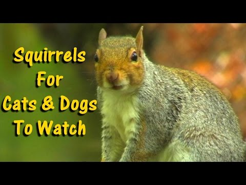 Videos for Dogs To Watch – Squirrels