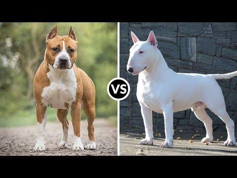 Amstaff VS Bull Terrier