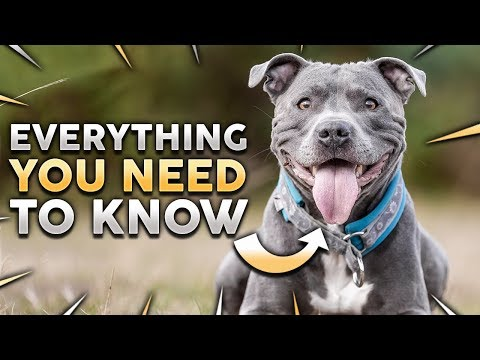 STAFFORDSHIRE BULL TERRIER 101! Everything You Need To Know About Owning a STAFFY Puppy