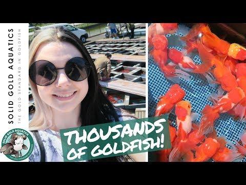 THOUSANDS of Goldfish! // Japan Goldfish Trip: Ep. 5