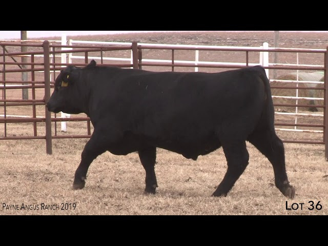 Payne Angus Ranch Lot 36