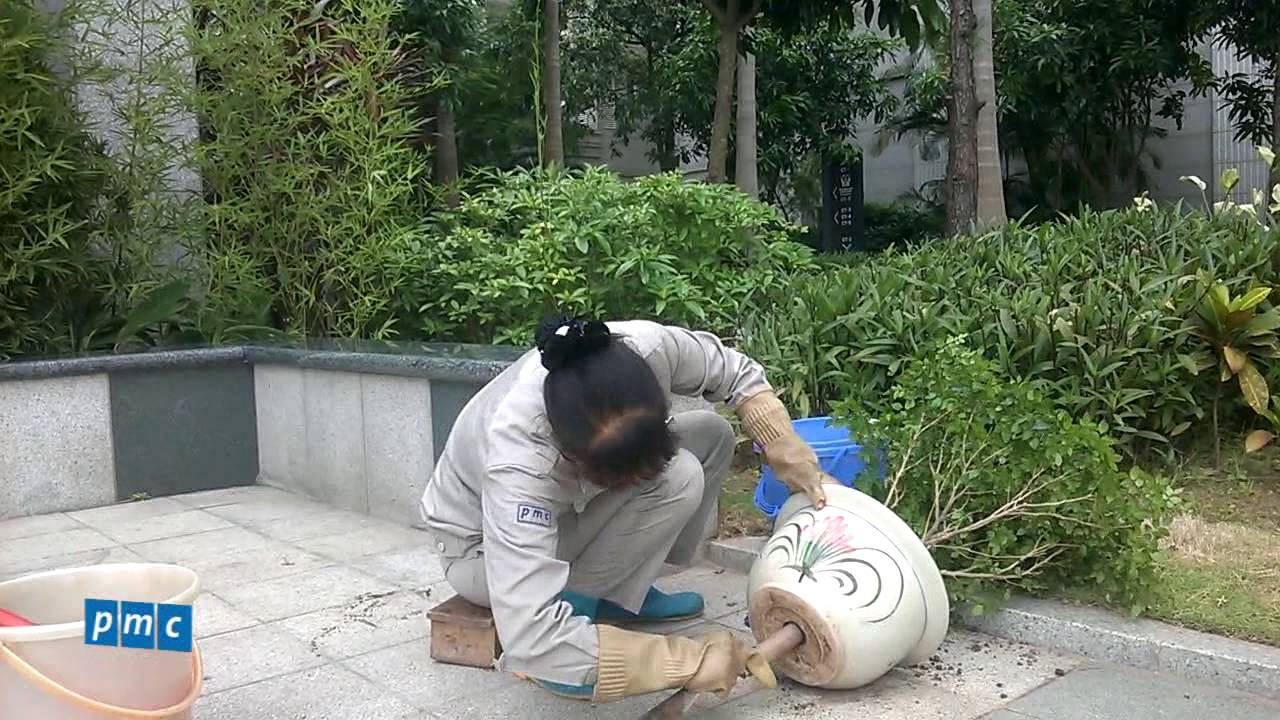 Hướng dẫn thay đất trồng trong chậu nguyệt quế
