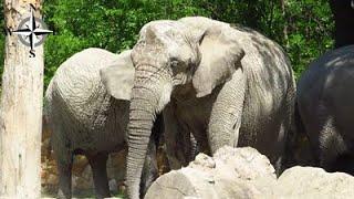 [HD] Słonie afrykańskie w zoo w Warszawie - przytulające się