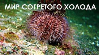 Подводный мир Баренцева Моря. Underwater World of Barents Sea.