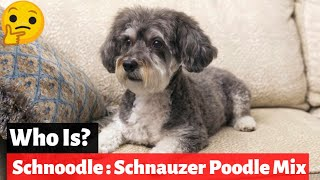 Schnoodle : Schnauzer Poodle Mix Breed | Should You Buy This For Your Home?