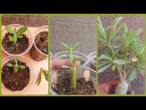 Adenium Seedlings Pruning