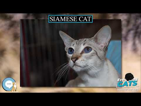 Siamese cat  EVERYTHING CATS