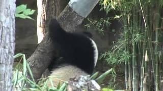 Thailand taken over by 'panda-mania'