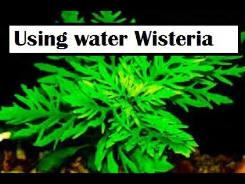 Hygrophila difformis || Water Wisteria || Aquarium Plant || E.J Brinegar
