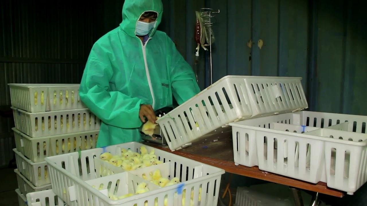 Trại gà Phùng Dầu Sơn: vaccine Marek+IBD (Khánh Hoà)