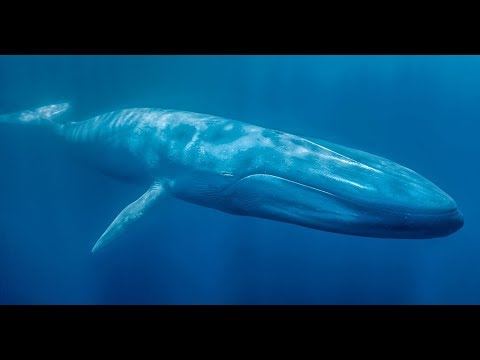 New Zealand has its own population of over 700 'genetically distinct' blue whales