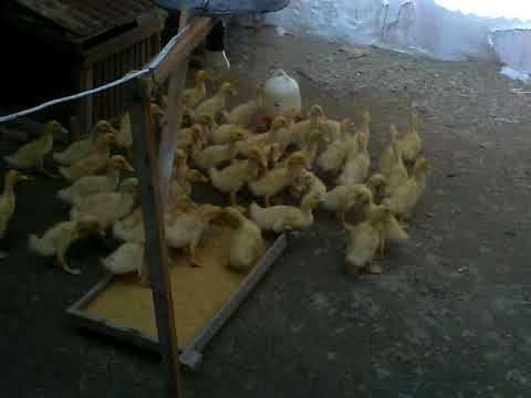 Jual Bibit Bebek Peking Harga Termurah