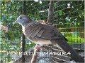 Burung Perkutut Madura Memang Mantap Banget Ngriwik(.mp3 .mp4) Mp3 - Mp4 Download