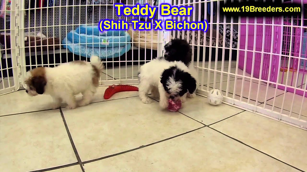 Shichon puppies for sale in indiana - Teddy bear puppies for sale in indianapolis indiana in valparaiso goshen westfield merril