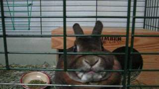 Mini Rex Rabbit gets excited!