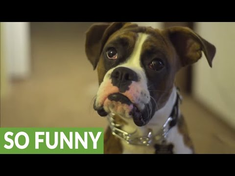 Boxer pup's game of fetch turns into music video